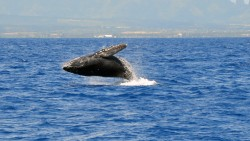 Kauai Whale Watching Gallery, Lahela Sportfishing